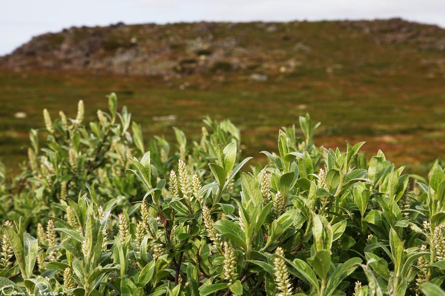 Ripvide (Salix glauca).