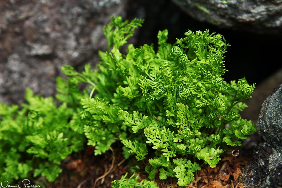 Krusbräken (Cryptogramma crispa). Precis som strutbräken har de sporer på speciella blad, i detta fall de som är extra krusiga.