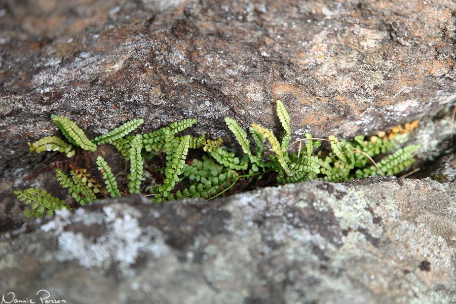 Grönbräken (Asplenium viride).