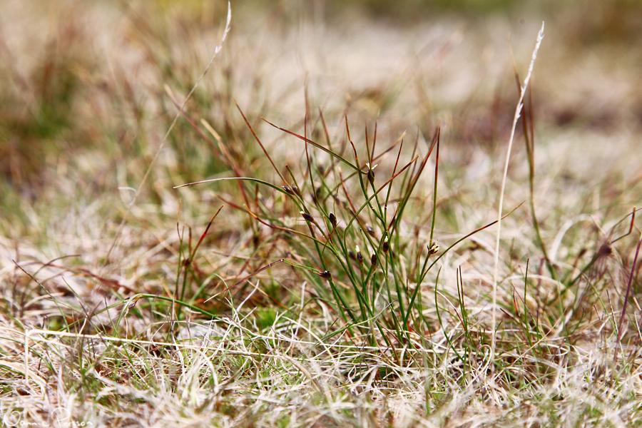 Klynnetåg (Juncus trifidus).