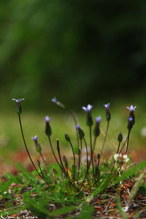 Lappgentiana (Gentianella tenella).