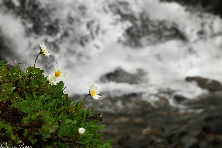 Fjällsippa (Dryas octopetala).