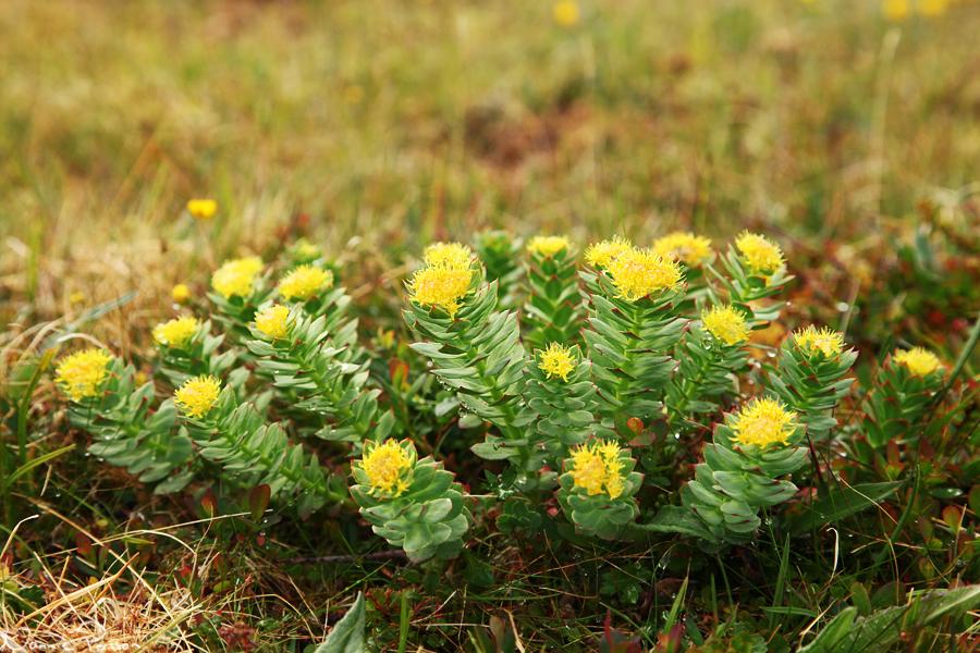 Rosenrot (Rhodiola rosea).
