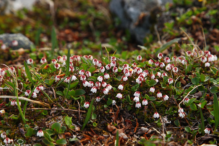 Mossljung (Cassiope hypnoides).