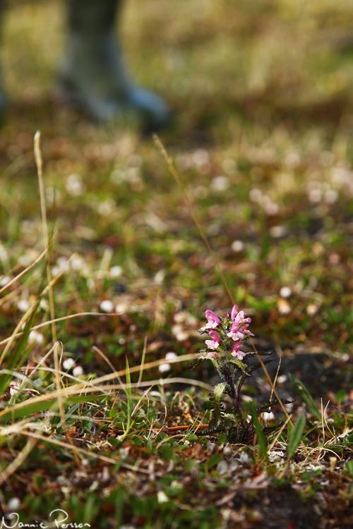 Lappspira (Pedicularis hirsuta).