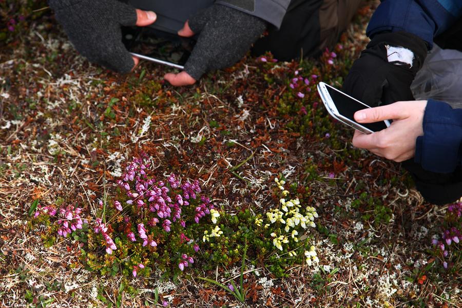 Vanlig rosafärgad och en vit lappljung (Phyllodoce caerulea).