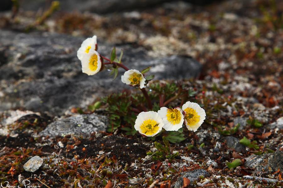 isranunkel (Ranunculus glacialis). I Europa den kärlväxt som växer på de högsta höjderna.