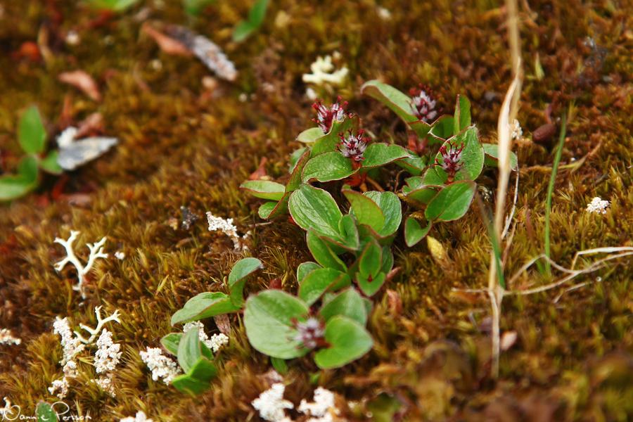 Polarvide (Salix polaris).