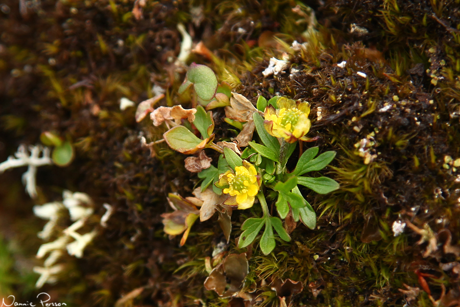 Dvärgranunkel (Ranunculus pygmaeus).