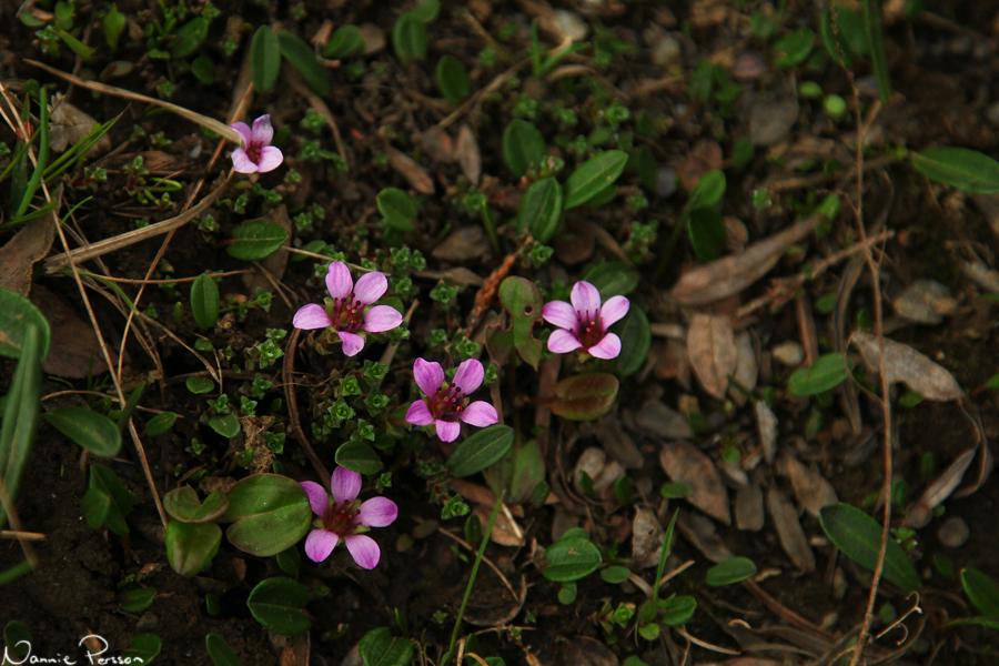 Purpurbräcka (Saxifraga oppositifolia).