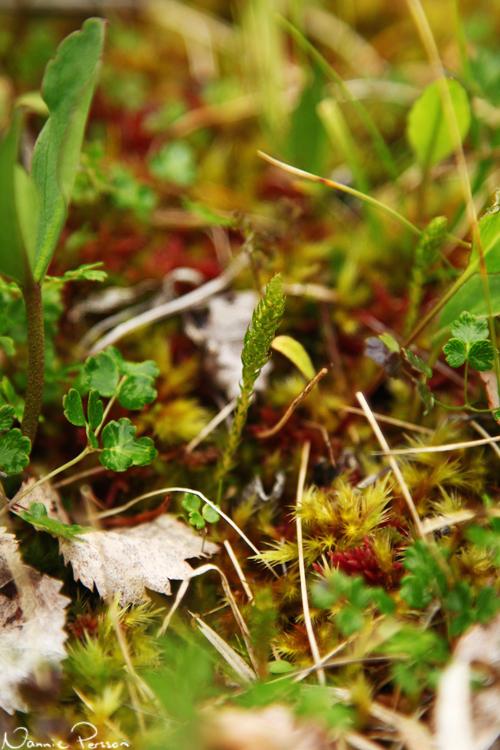 Dvärglummer (Selaginella selaginoides).