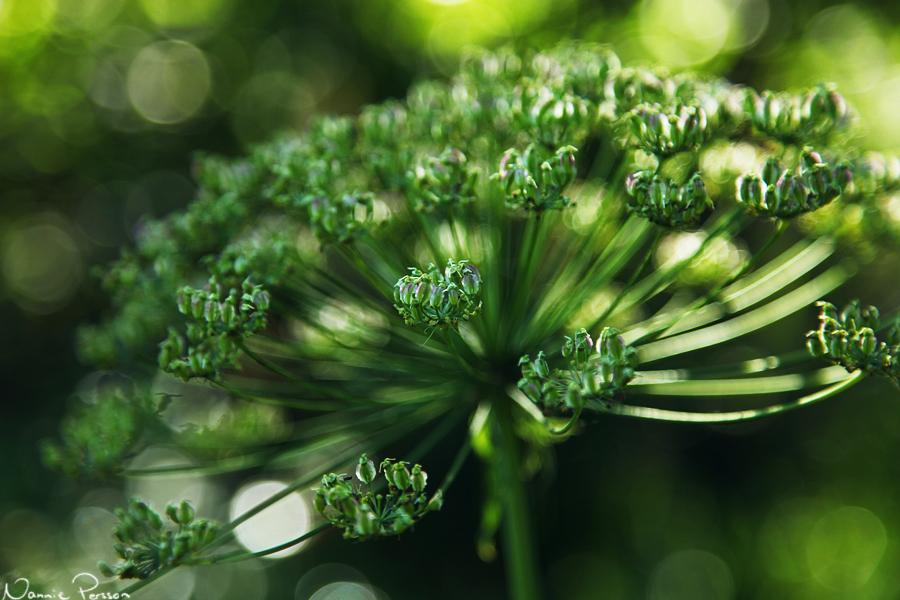 Spenört (Laserpitium latifolium).