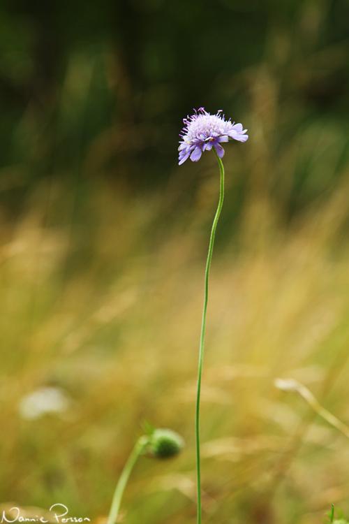 Fältvädd (Scabiosa columbaria).