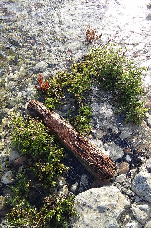 Den snälla åkertisteln som på denna ö inte verkade vara så snäll (Cirsium arvense var. maritima). Häftigt att den växer ute i vattnet.