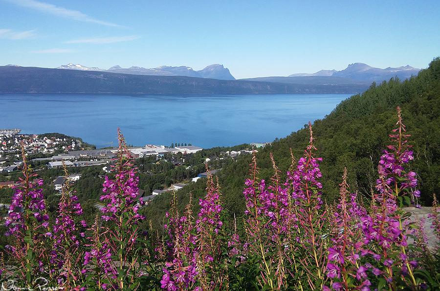 Ofotfjorden med mjölkört (Chamerion angustifolium) i förgrunden.