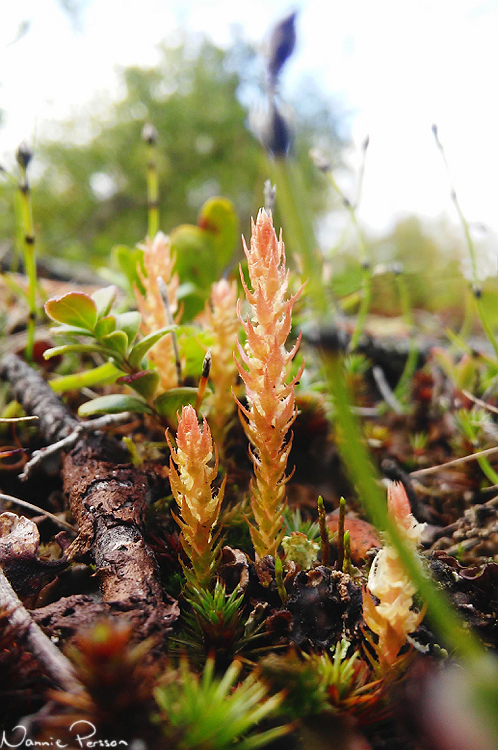 Dvärglummer (Selaginella selaginoides). En av mina favoriter.