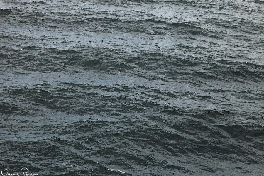 I huvudsak tordmular och ejdrar simmade vid kusten.
