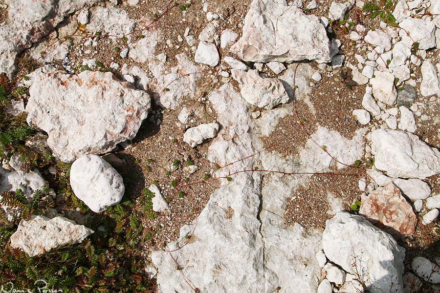 Gåsörten (Argentina anserina) satsade hårt på sina stoloner.