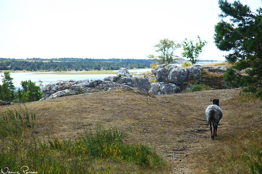 Äntligen lyckades jag få en bild på ett får. Bakifrån, men ändå.