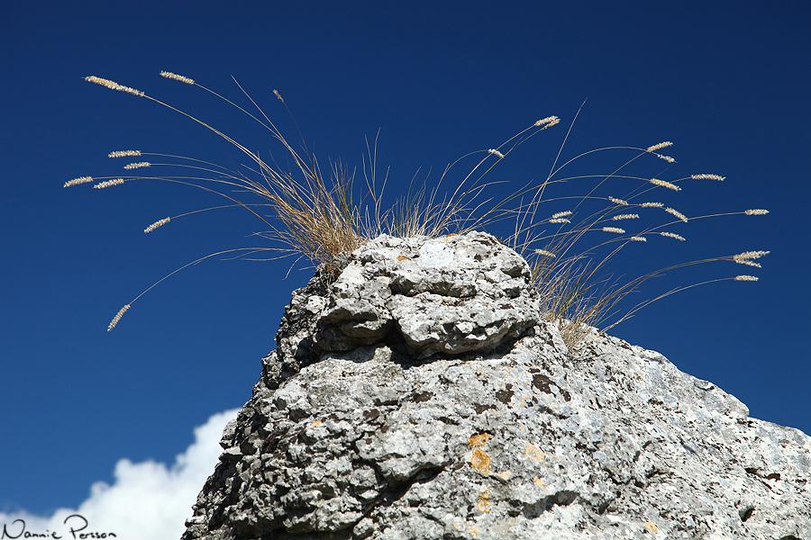 Grusslok (Melica ciliata), en annan art vi sett mer än nog av under veckan.