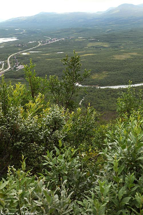 En Salix är inte en Salix. Titta vad många gröna nyanser!