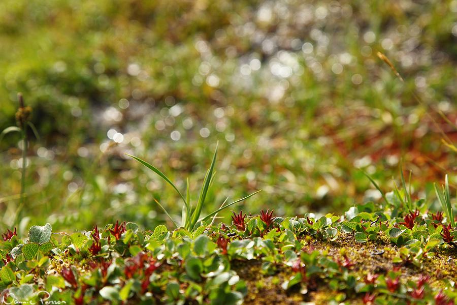 """Dvärgvide (Salix herbacea), """"världens minsta träd""""."""