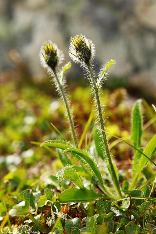 Fjällfibbla (Hieracium sect. alpina).