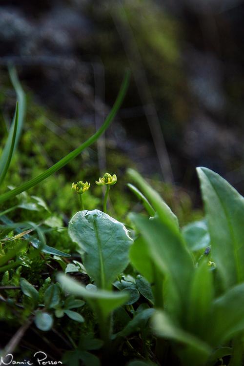 Tittut sa ett par dvärgranunkler (Ranunculus pygmaeus).