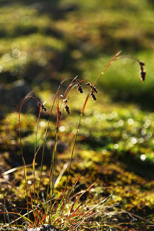Axfryle (Luzula spicata).