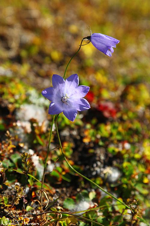 En blåklocka (Campanula rotundifolia) med två flikar för mycket!
