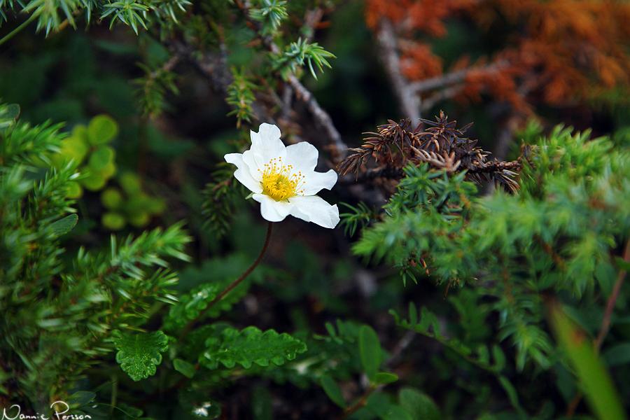 Fjällsippa i blom.