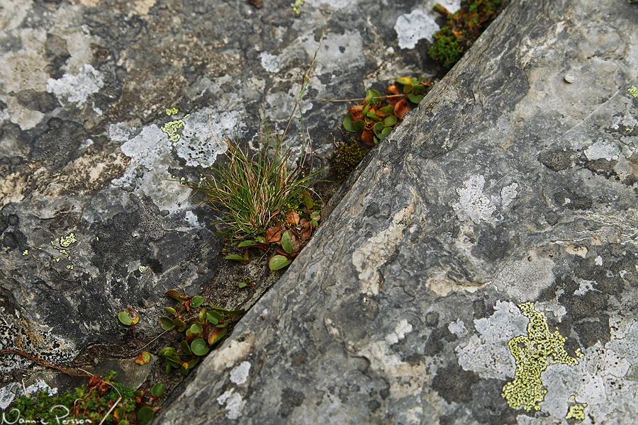 Polarvide (Salix polaris). Världens näst minsta träd?