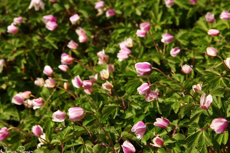 Polkagrisrandiga vitsippor (Anemone nemorosa).