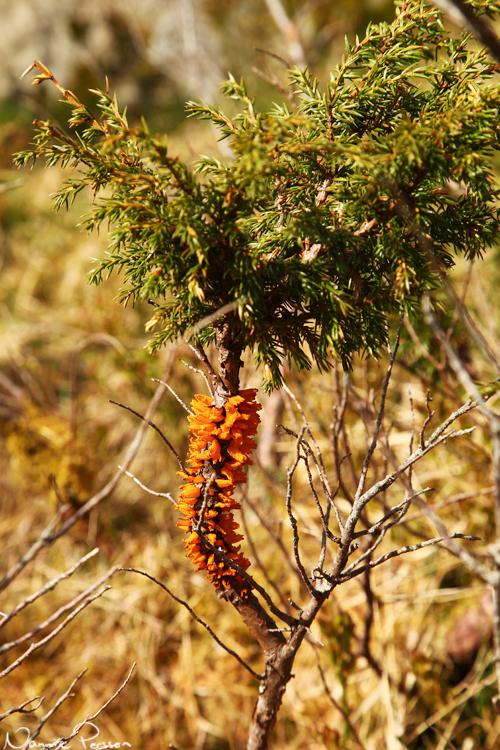Hagtornsrost (Gymnosporangium clavariiforme) på sin primära värd en (Juniperus communis).
