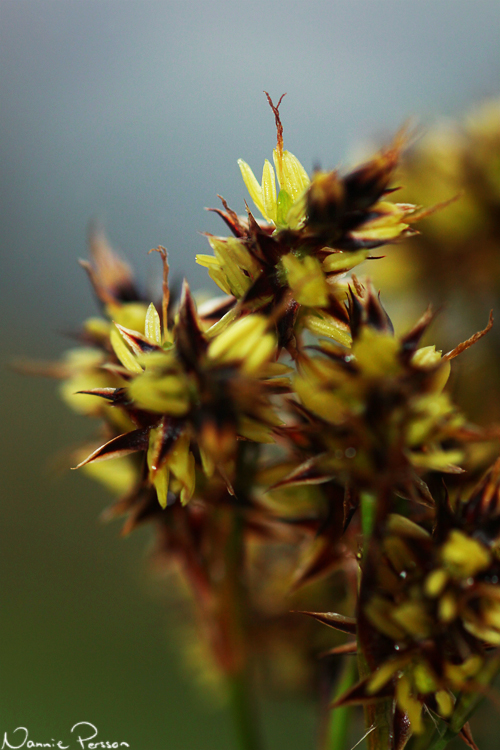 Knippfryle (Luzula campestris).