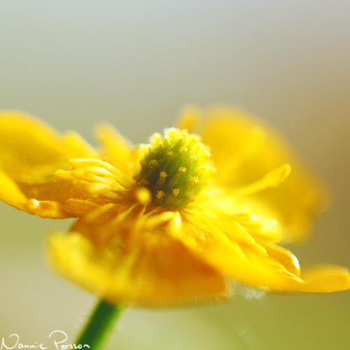Revsmörblomma (Ranunculus repens).