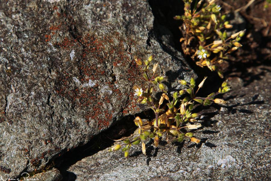 Den fyrtaliga nejlikväxten västkustarv (Cerastium diffusum).