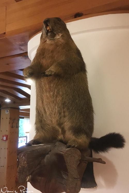 Det uppstoppade murmeldjuret på hotellet var lättare att fota.