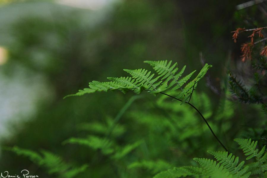 Kalkbräken (Gymnocarpium robertianum).