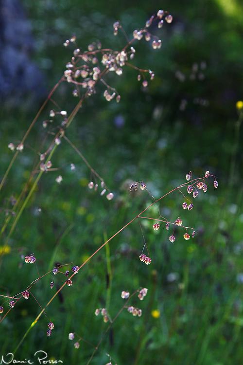 Darrgräs (Briza media). Världens finaste blomma.