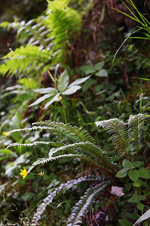 Taggbräken (Polystichum lonchitis). Och ett julrosblad i bakgrunden!