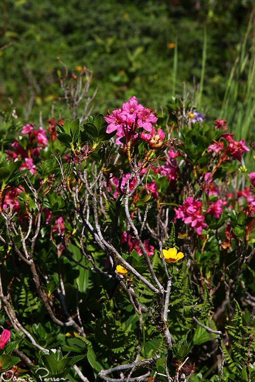 Rhododendron hirsutum.