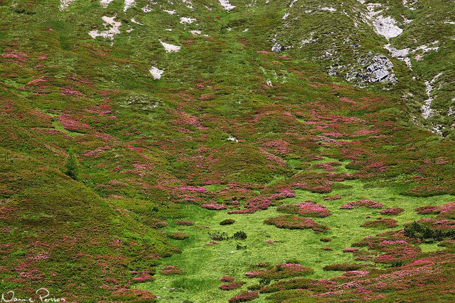 Fullt av Rhododendron hirsutum.