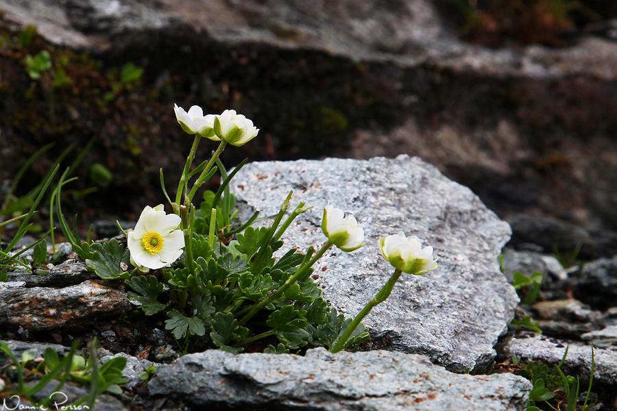Ranunculus alpestris, en släkting till smörblomma.