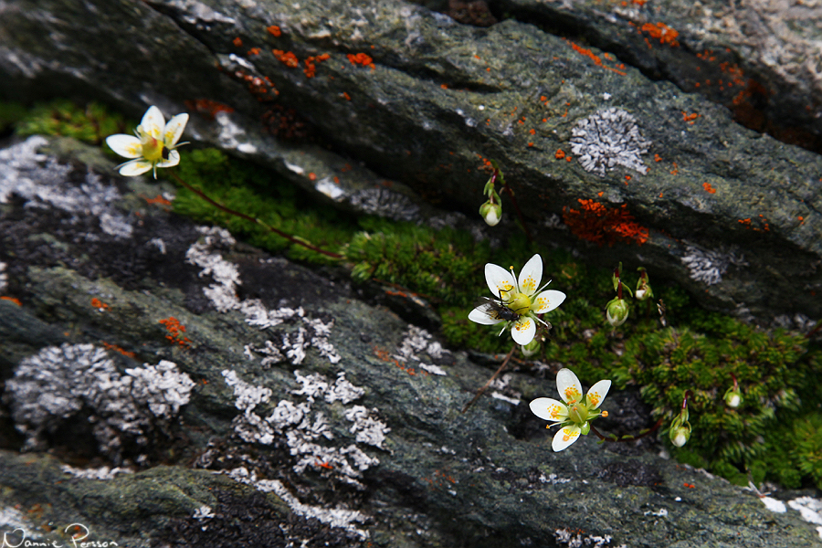 Saxifraga bryoides, en släkting till mandelblom.
