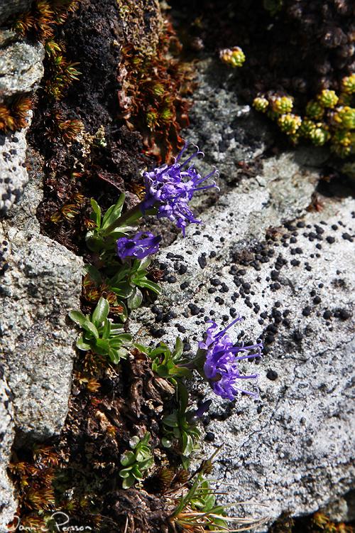 En till rapunkel, troligtvis Phyteuma globulariifolium.