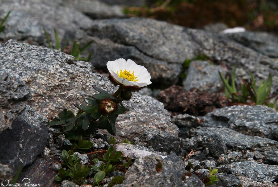 Isranunkel (Ranunculus glacialis).