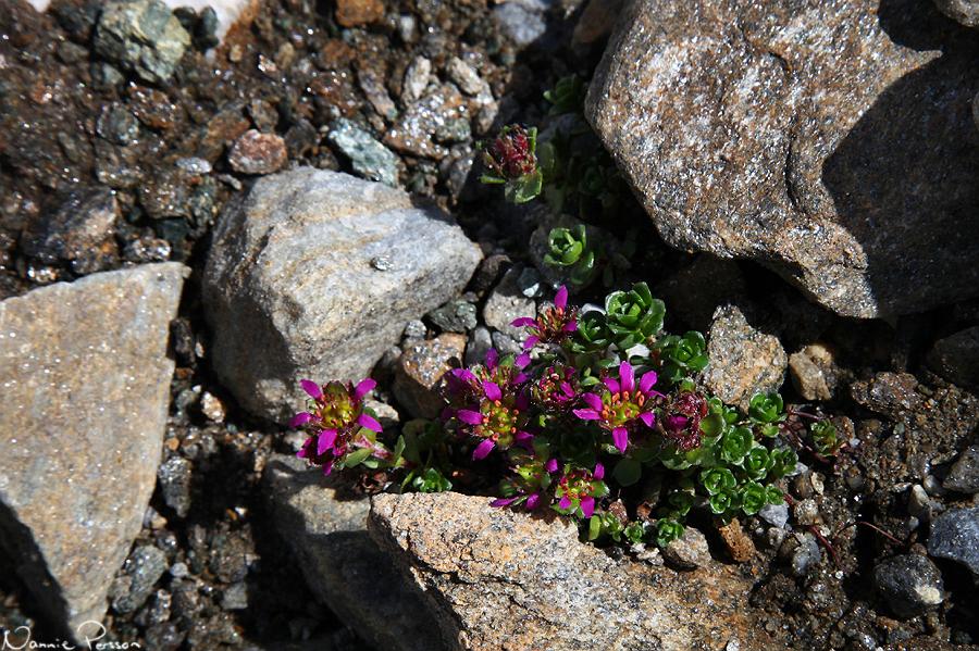 Saxifraga biflora ssp. biflora.
