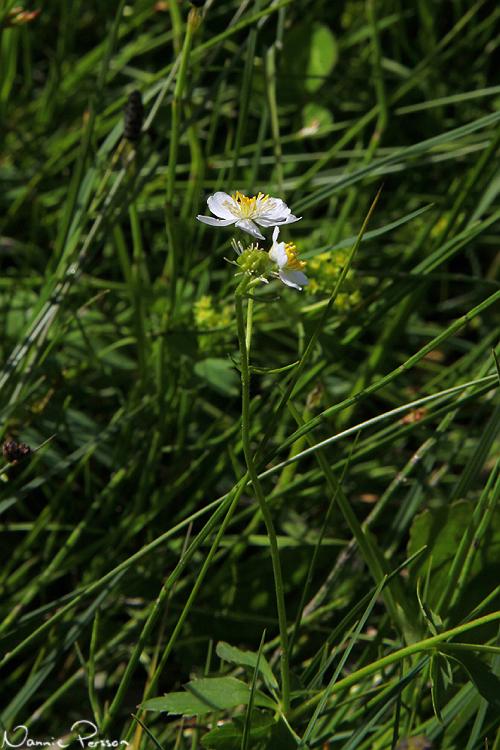 Stormhattsranunkel (Ranunculus aconitifolius).