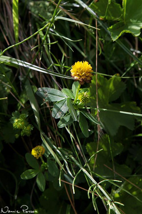 Humleklöver (Trifolium badium).